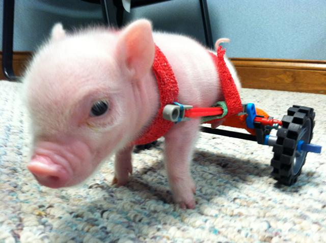 Piggy in a Wheel Chair