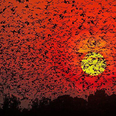 Bats Madness, 8 million Bats in Pictures
