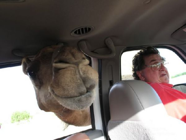 Don't Mess With The Camel!