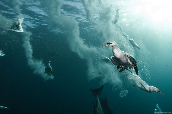 How Diving Seabirds Hunt Fish