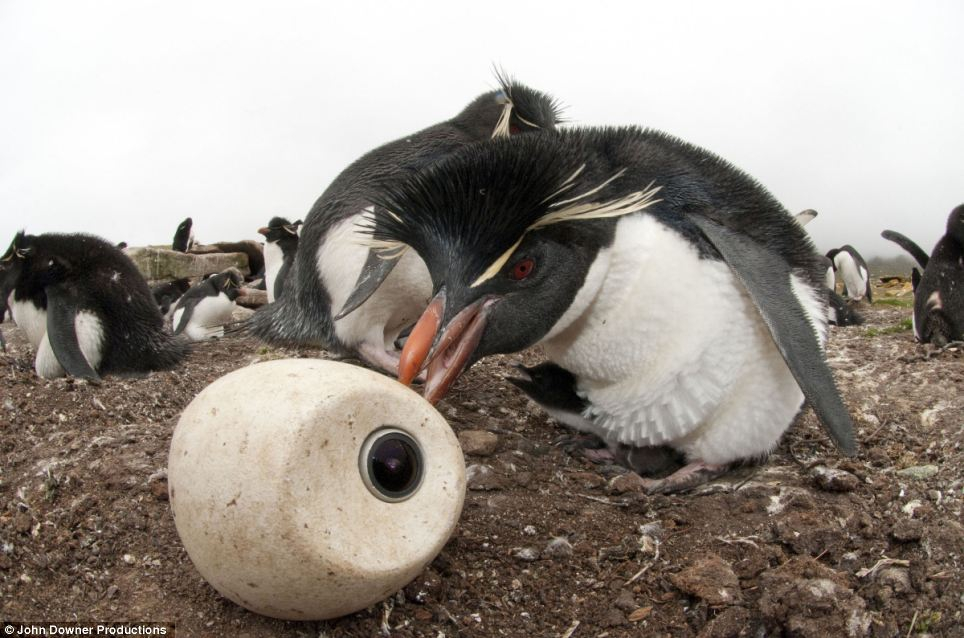 Penguin Nursery, Filmed for the First Time