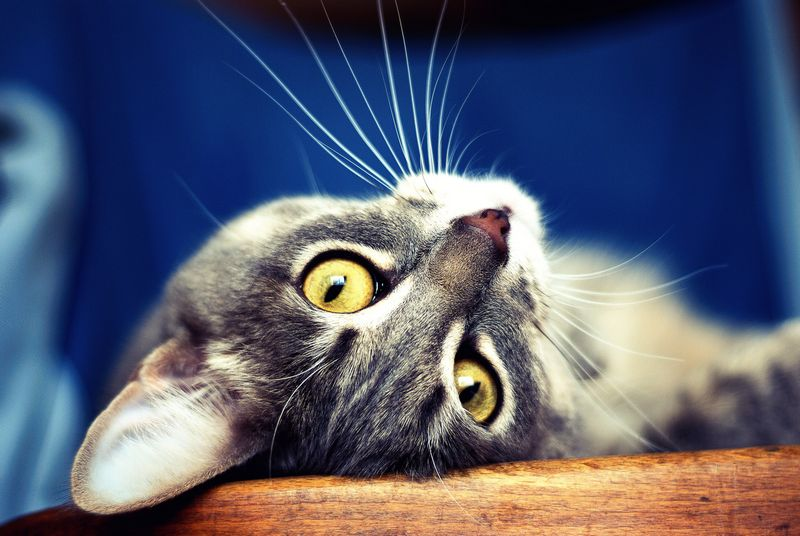 11) The average cat has 24 whiskers.