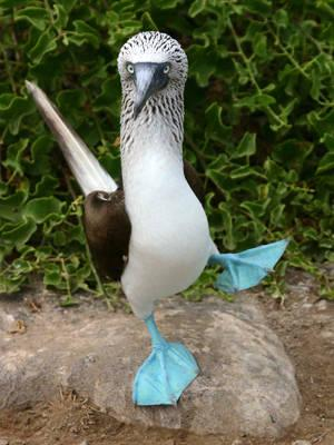Wanna See Some BOOBIES? Here's The Blue Footed Booby:) от Marinara за 15 feb 2013