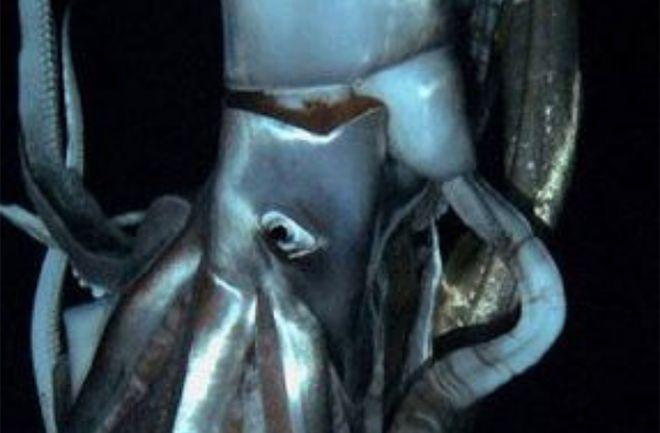 Giant Squid Do Exist