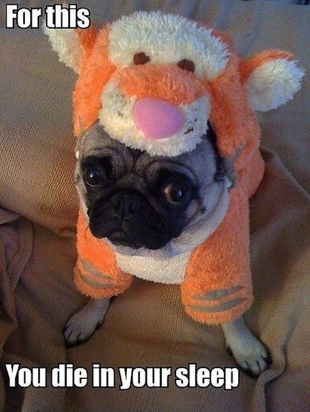 This pug who doesn't think this is adorable.