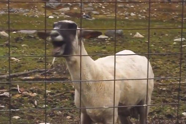 The Best (and Most Hilarious) Screaming Goat Remixes on the Web