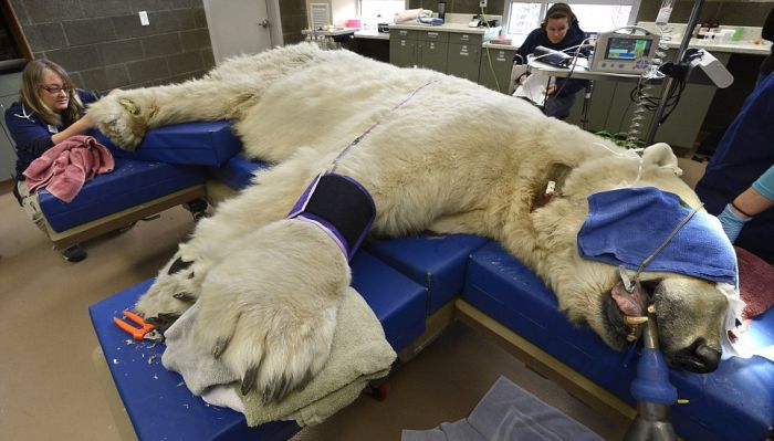 Polar Bear Visits Dentist