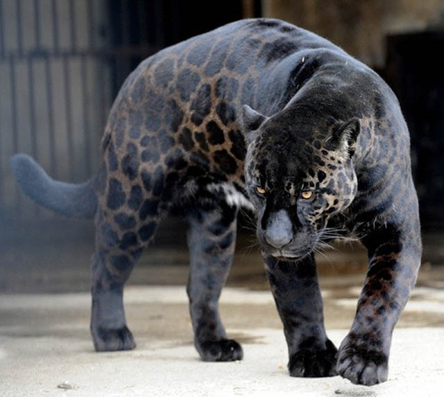 Incredible Melanistic (All Black) Animals
