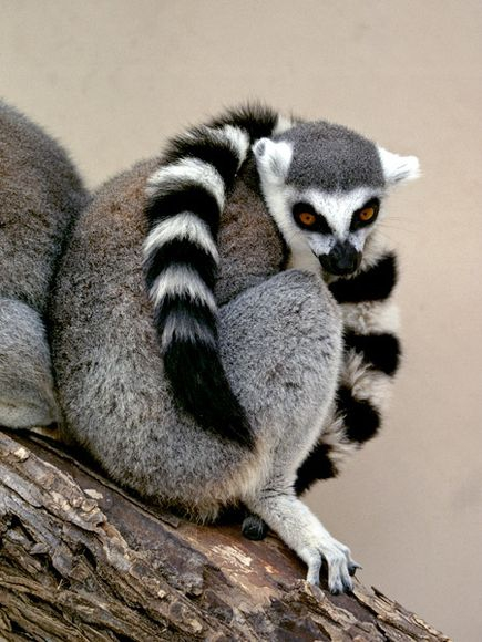 Thief Arrested After Trying To Ransom Stolen Lemur