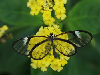 See Through Butterfly, Beautiful!