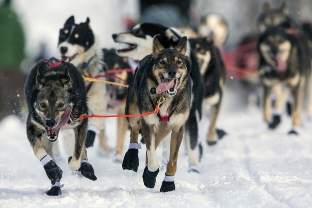 Iditarod Racing Dogs Are Excited To Race!