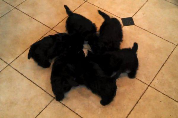 Scottie Pups Form Drinking Pinwheel, Cute!