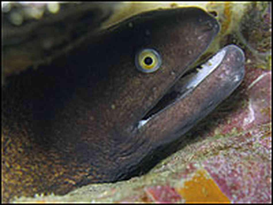 Laughing Eels