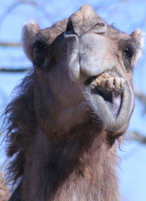 Camels on Drugs