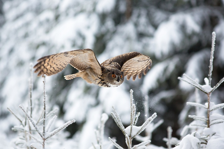Magnificent Photos of Owls in Flight