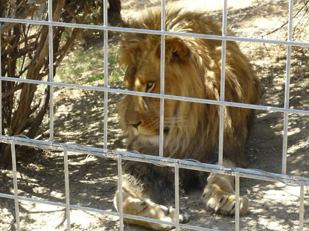 Lion Kills An Intern At The San Francisco Cat Haven.