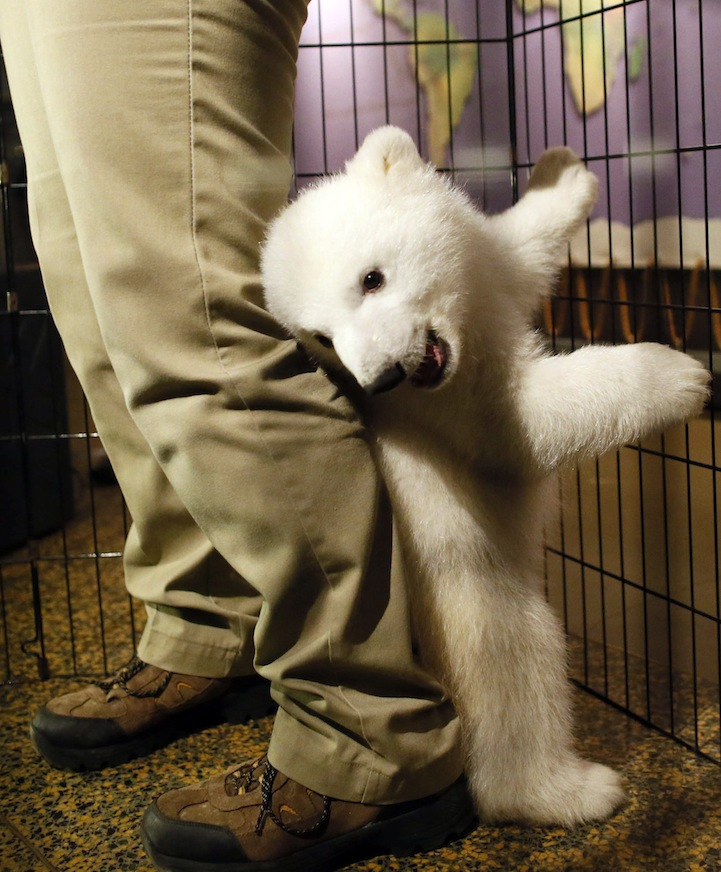 The Cutest Polar Bear Cub in the World