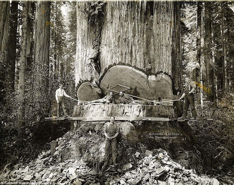 The Lumberjacks Who Felled California's Giant Redwoods