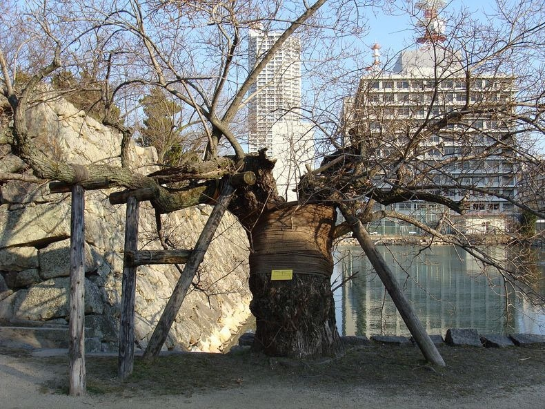 Hibaku Jumoku: The A-Bombed Trees That Survived Hiroshima