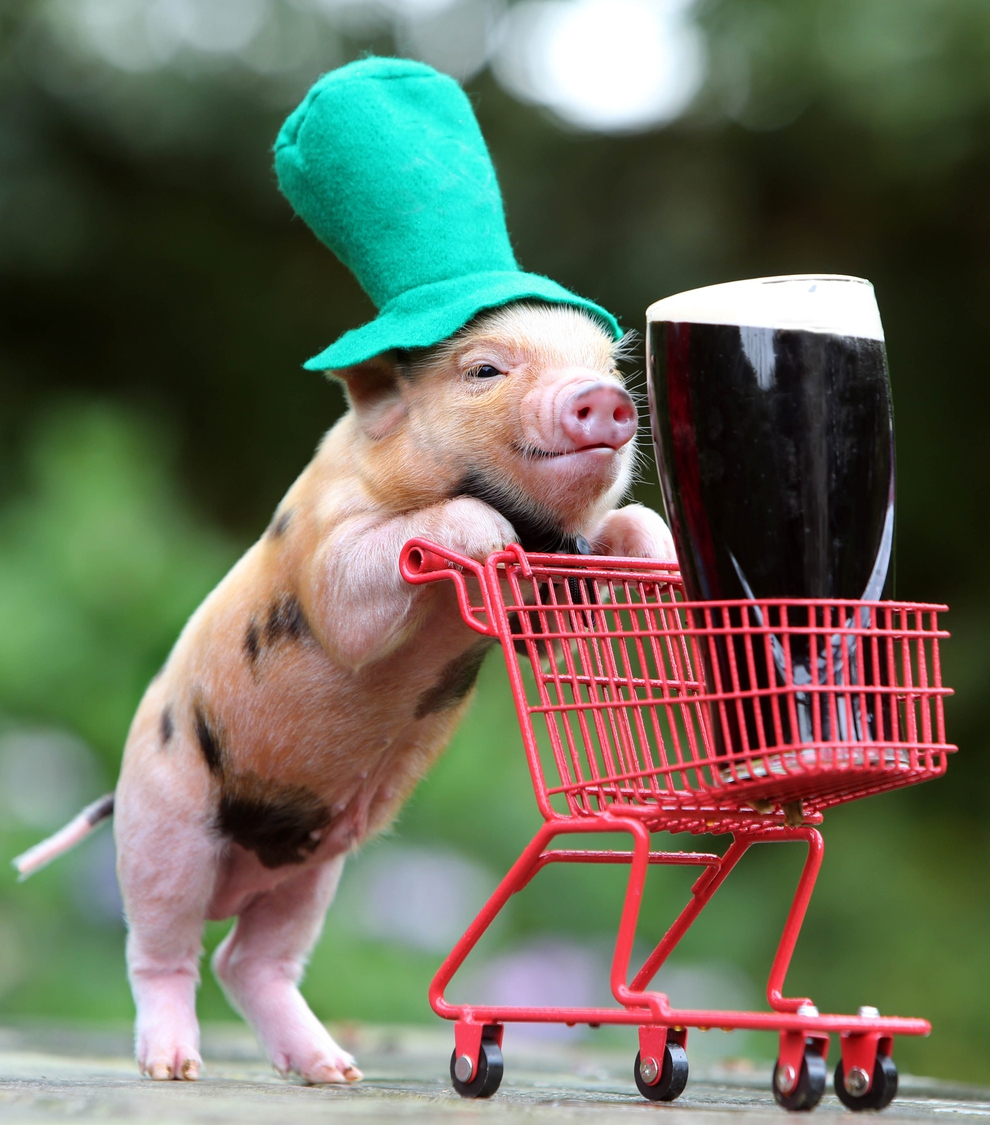 This Little Pig Is Ready For A Happy St. Patrick's Day