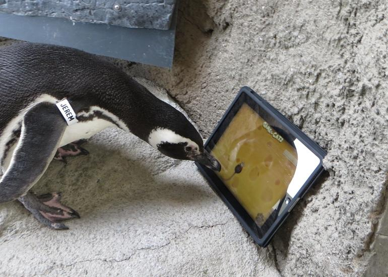 Penguins Playing With Ipad