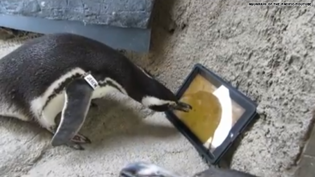 Penguin Using Ipad
