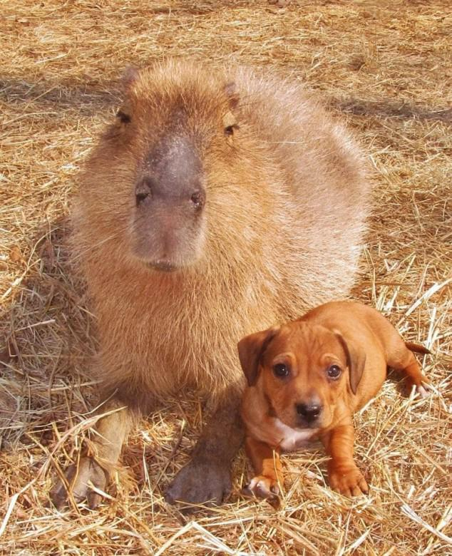 Capybara And One Of The Puppies