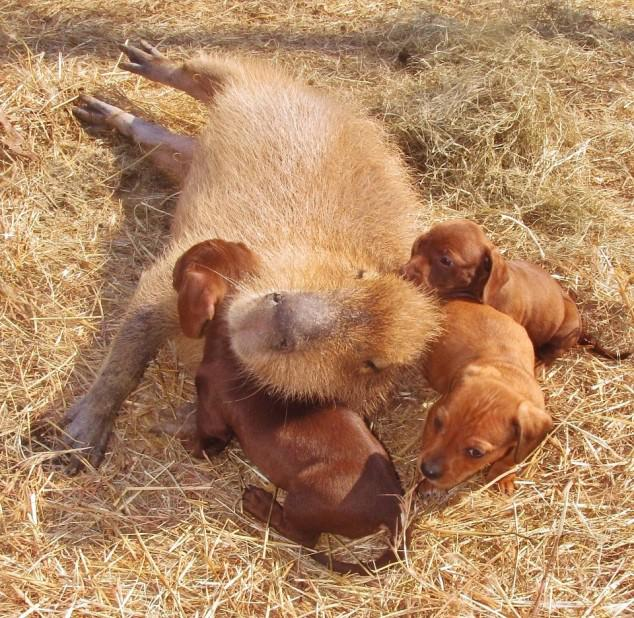 Multiple Puppies with Capybara