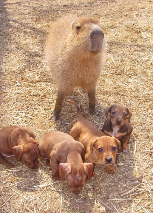 Capybara And The Orphaned Puppies