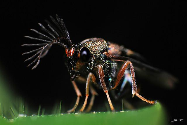Close Up On Eucharitid Wasp