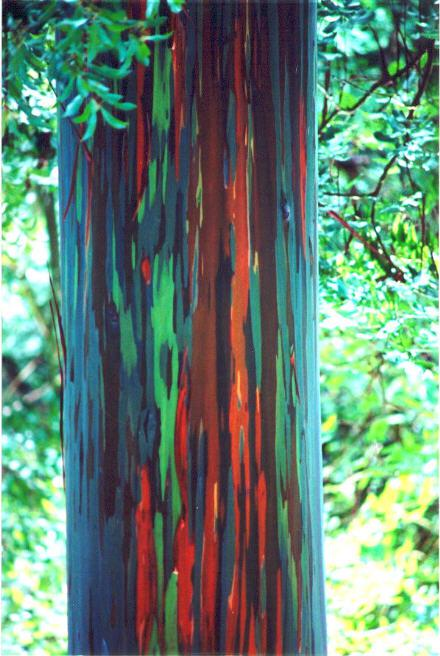 Stunning Multicolored Eucalyptus Tree
