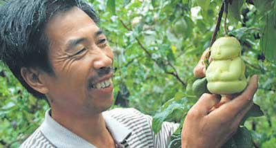 Man Picking A Buddha Pear