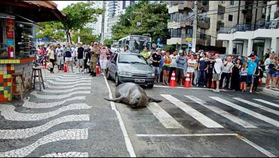 Sea Lion Crossing Th Street
