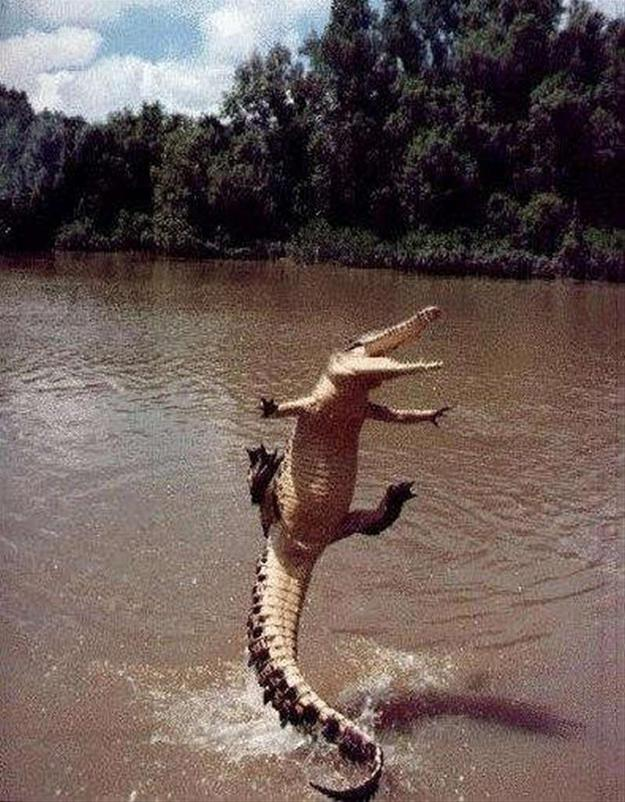 Jumping Alligator