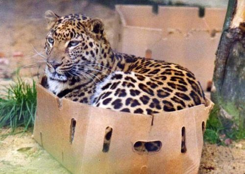 Leopard In A Box
