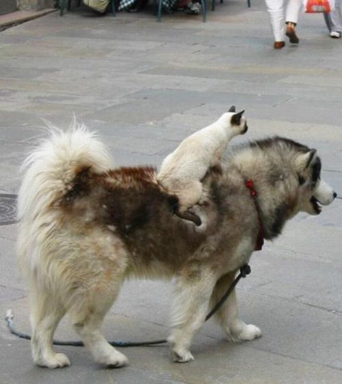 Cat Riding On Dog