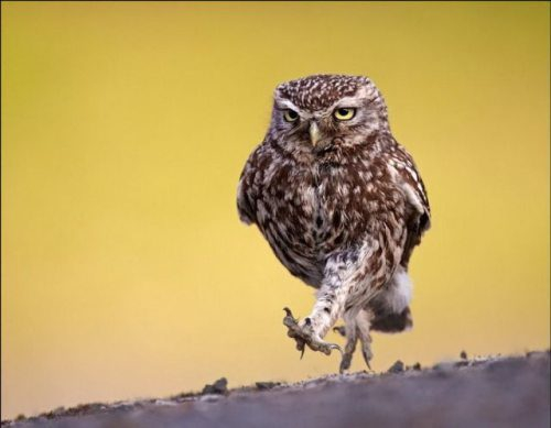 Walking Owl