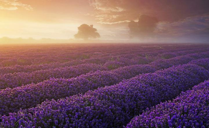 Gorgeous Lavender Fields In  England