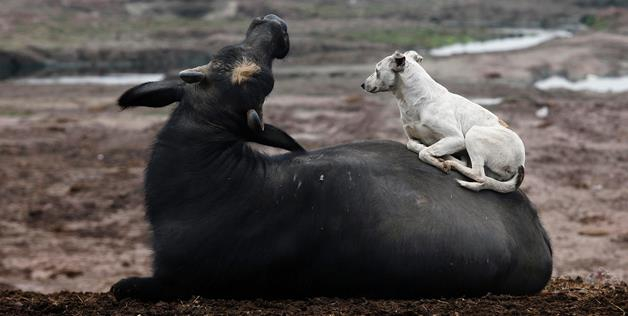 Cow And Dog