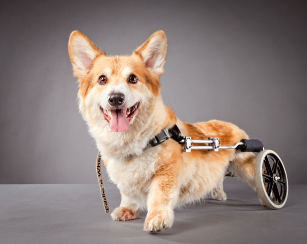 Corgie With A Disability