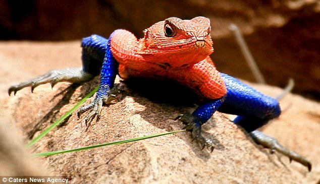 Mwanza Flat Headed Agama lizard