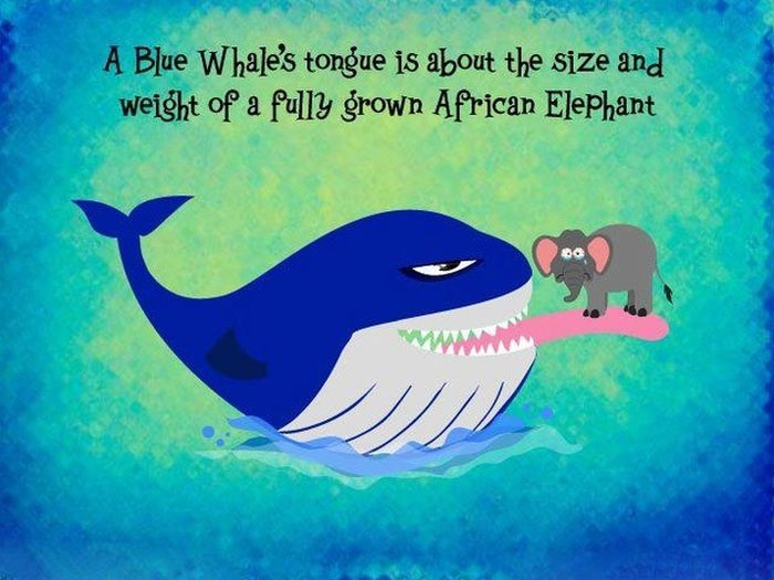 Blue Whales Tongue