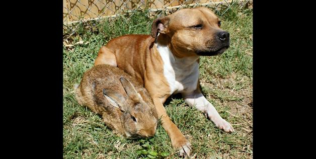 Boom The Adorable Pit Bull Posing with A Bunny