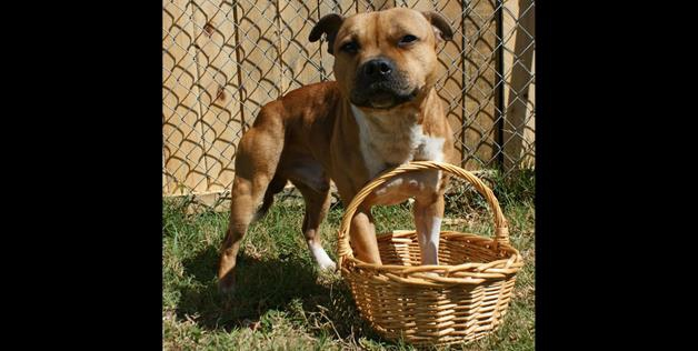 Pit Bull in a basket