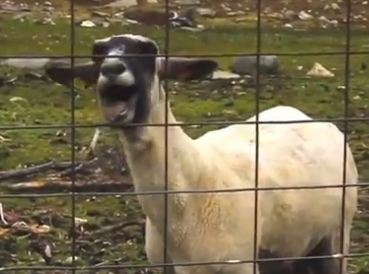 Cops Called on Human-Sounding Screaming Goat