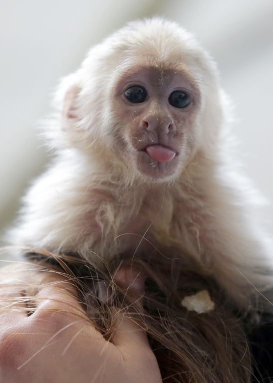 Capuchin monkey, named Mally