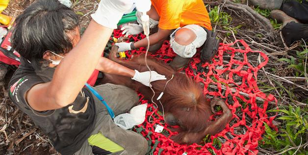 Orangutans Rescued