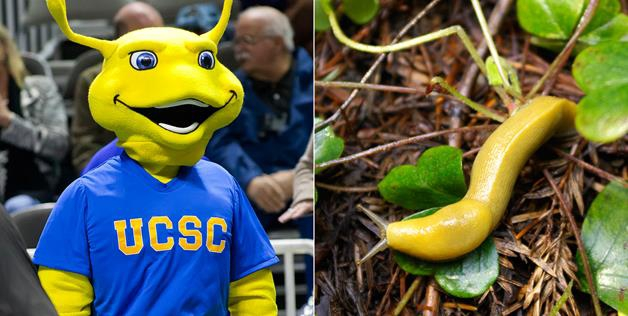 University of California, Santa Cruz, students decided to call themselves the Banana Slugs