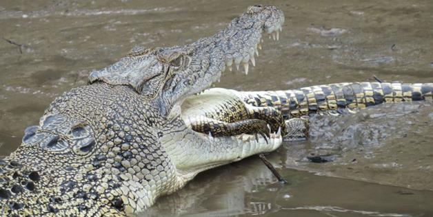 crocodiles eat other crocodiles