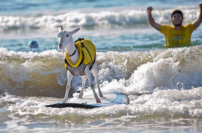 The surfing goat from California